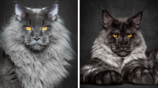 maine-coon-cat-photography-robert-sijka-fb