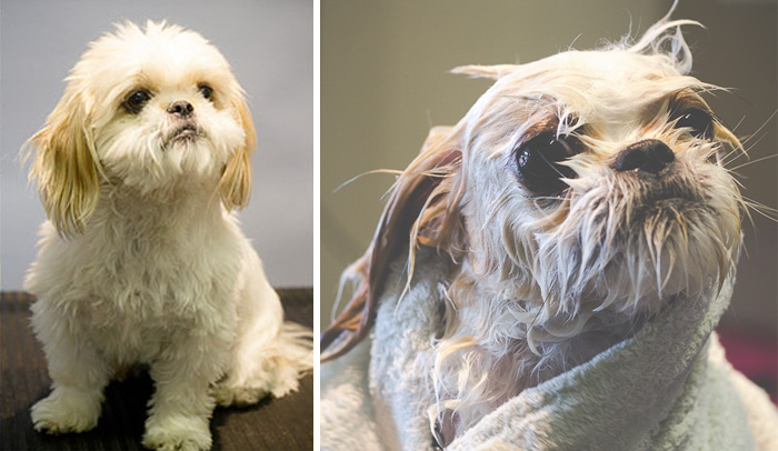 wet-dogs-before-after-bath-8-57a4397783245__700